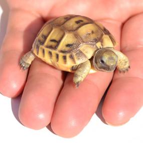 Baby Golden Greek Tortoise