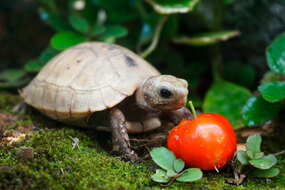 Newborn Baby Elongated Tortoise