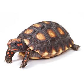 Baby Cherry Headed Tortoise