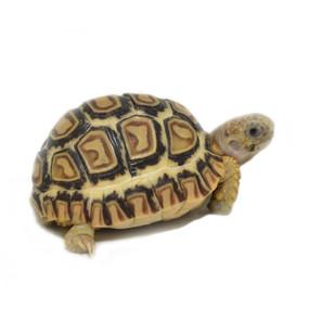 Baby Ivory Snow Leopard Tortoise