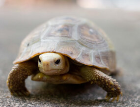 Juvenile Elongated Tortoise on a walk