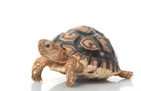 Juvenile Leopard Tortoise