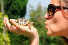 Juvenile Hermann's Tortoise