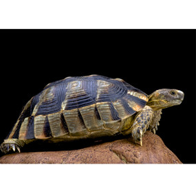 Adult Male Marginated Tortoise