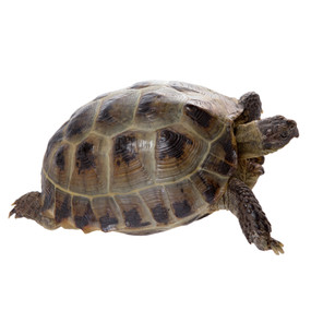 Adult Greek Tortoise