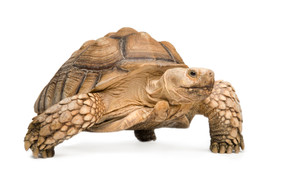 Giant Adult Female Sulcata Tortoise