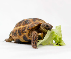 Adult Russian Tortoise Eating