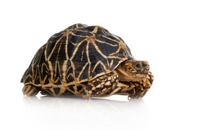 Buy a beautiful Indian Star Tortoise here.