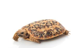 Juvenile Pancake Tortoise