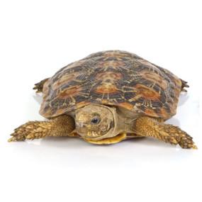 Adult Pancake Tortoise