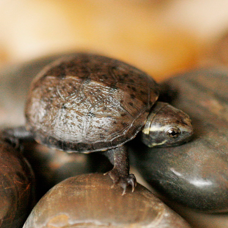 Baby Common Mud Turtles