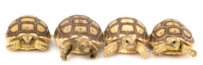 Tortoises Amp Tortoise Supplies For Sale Myturtlestore