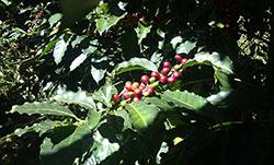 Coffee cherries on an Arabica tree