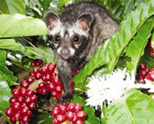 The luwak civet that creates kopi luwak coffee