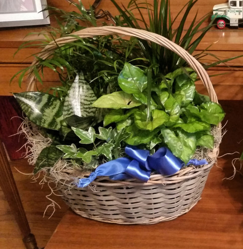 This versatile basket of potted green plants adds beauty, life and fresh air to any space. It's a long-lasting gift that communicates your love and best wishes, no matter the occasion.