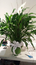 Medium Green Plant, stands about 2 foot tall, peace lily, corn plant, bromelaid,