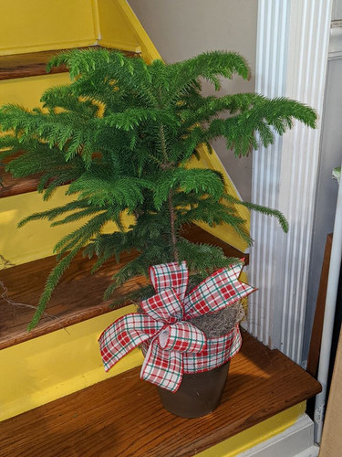 The Bloom Closet's Norfolk Pine