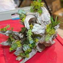 Succulent Air Plant Driftwood Piece