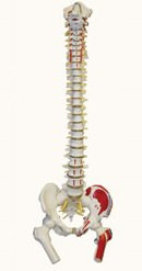 Life-Size Flexible Human Spinal Column