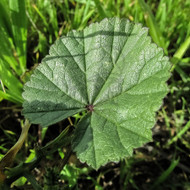 Marshmallow Leaf - Example of living plant.