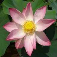 Sacred Lotus Flower - Example of living plant.