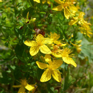 St Johns Wort - Example of living plant.