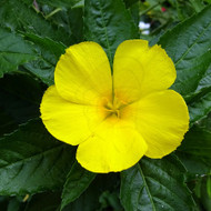 Damiana - Example of living plant.