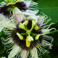 Passionflower - Example of living plant.