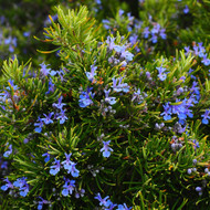 Rosemary - Example of living plant.