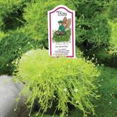 Leo's Scotch Moss