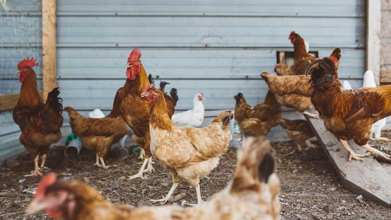 Wind and Shade protection for your chickens