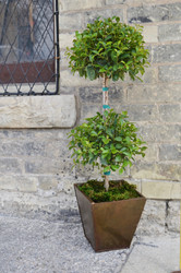 Eugenia Topiary in Rustic Metal Pot