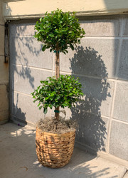 Eugenia Topiary in Woven Basket