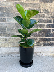 Fiddle-Leaf Fig in Black Pot with Saucer