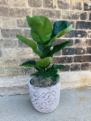 Fiddle-Leaf Fig in Cement Planter