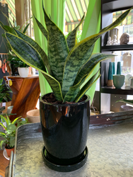 Snake Plant in Black Pot with Saucer