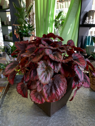 Blooming Begonia in Bronze Planter