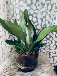 Moonshadow Sanseveria