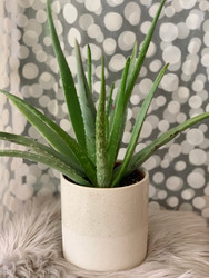 Aloe Plant in Scandinavian Pot
