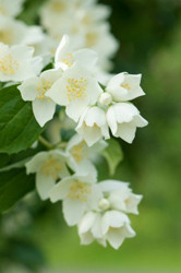 Fragrance Refills - Jasmine