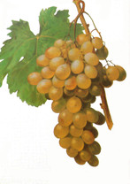 Gordo Blanco (White Muscat) Grape