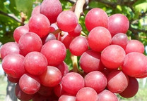 Red Prince Grape