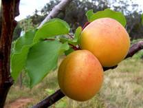 Moorpark Apricot (dwarf)