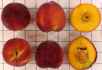 Springold Peach
