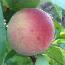 Anzac Peach (dwarf)