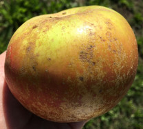 Campbelltown Russet Apple (medium)