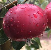 Devonshire Quarrenden Apple (dwarf)