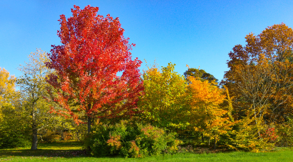 Acer X Freemanii Jeffersred Autumn Blaze Heritage Fruit Trees