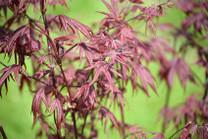 Bloodgood Japanese Maple (Acer palmatum atropurpureum 'Bloodgood')