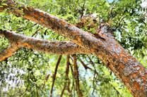 Chinese Elm (Ulmus parvifolia 'Murray's Form')